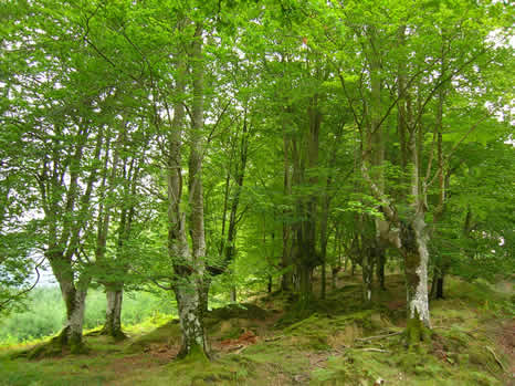 European Beech forest in the Gorbea Natural Park