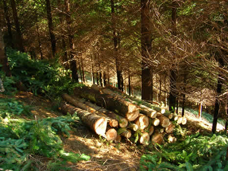Forestry work in a hillside containing Douglas Fir trees