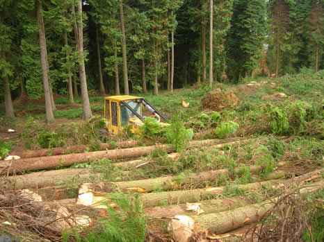 Logging of Lawson´s Cypress trees