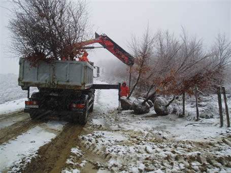 Relocation of trees for replanting