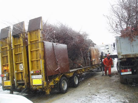 Trees being transported in lorries for replanting